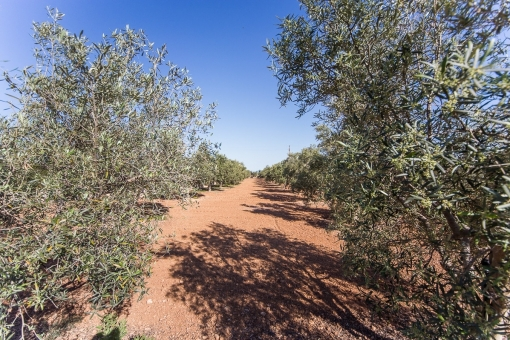 Private olive fields